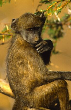 Baboon Thinking Things over