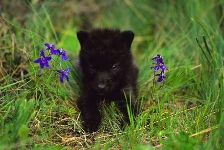 かわいいオオカミ子犬