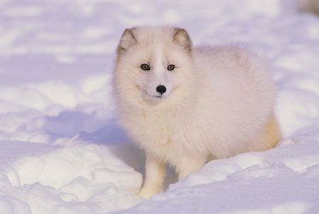 冬の北極キツネ 写真素材