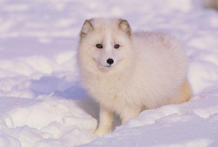 zorros: Zorro �rtico en invierno
