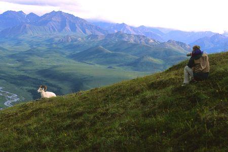 photgraphy: Dall Sheep and Photographer Stock Photo
