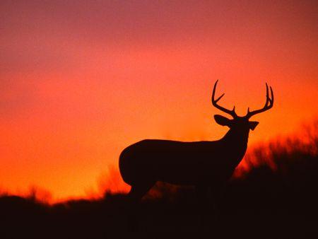 日没でホワイトテイル バック