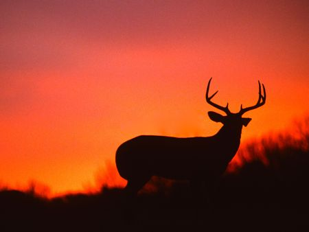 Whitetail Buck in Sunset Banque d'images