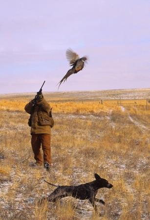 Shooting a Pheasant