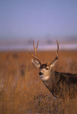 Mule Deer buck on the Prairie Фото со стока - 7379952