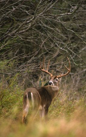 Trophy Whitetail Buck Stock Photo