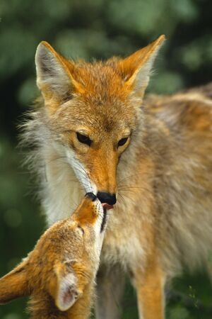 Female Coyote with Pup