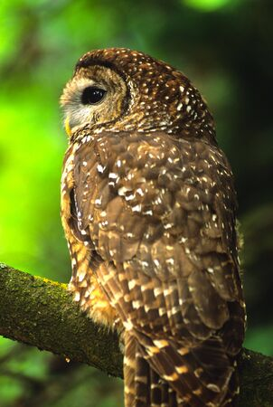 spotted: Mexican Spotted Owl