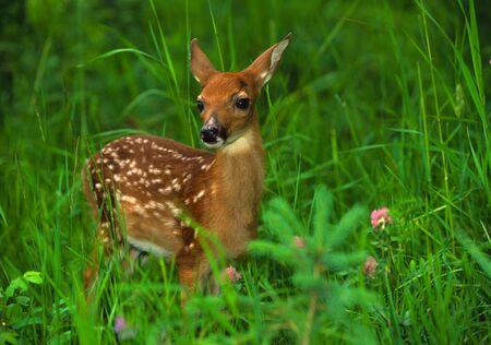 deer  spot: Whitetail Fawn