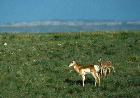 Antelope Doe with Twins Фото со стока