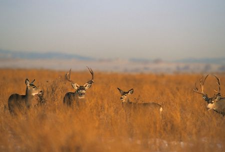 Mule Deer in Rut photo