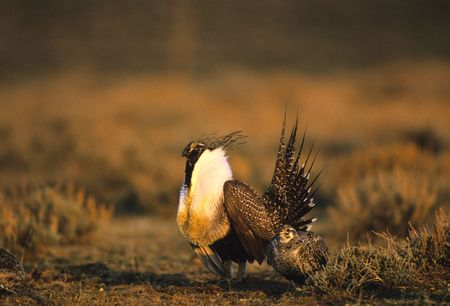 StruttingMale Sage Grouse with Female Banque d'images