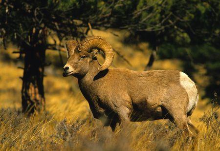 borrego cimarron: RAM de ovejas de borrego