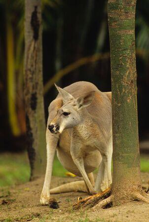 Curious Kangaroo Imagens