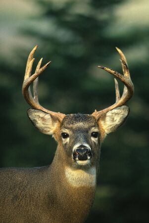Whitetail Buck Portrai