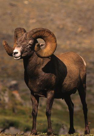 rocky mountain bighorn sheep: Full Curl Bighorn Ram Stock Photo