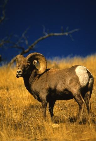bighorn sheep: Ram di pecore bighorn