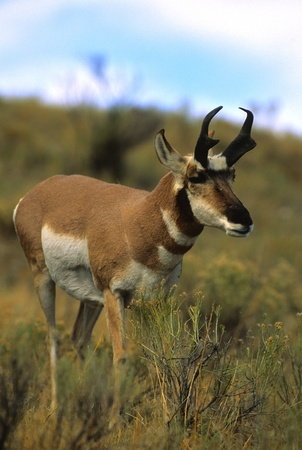 Pronghorn buck Stock Photo - 8697437