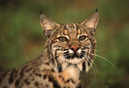 bobcat: Bobcat cerrar Foto de archivo