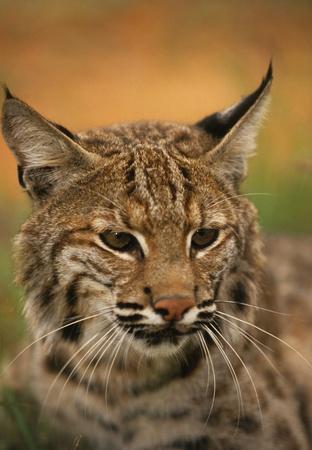 bobcat: Retrato de lince Foto de archivo
