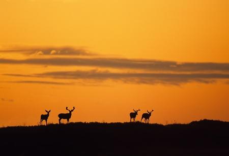 Silhouetted Mule Deer bucks Foto de archivo