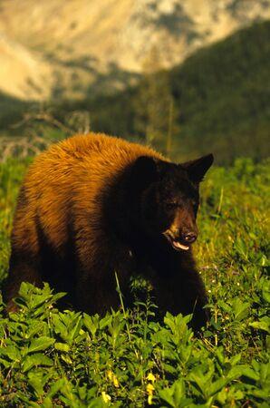 oso negro: Oso negro en la pradera