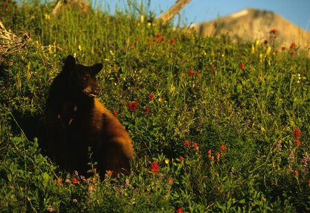 black bear: Orso nero in prato