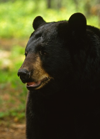 omnivore: Black Bear Close up
