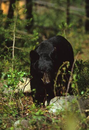 omnivore animal: Black Bear in forest Stock Photo