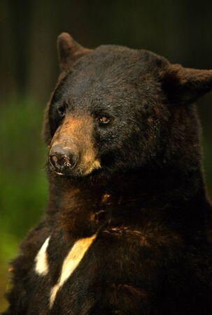 black bear: Ritratto di orso nero Archivio Fotografico