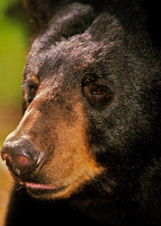 oso negro: Retrato de oso negro