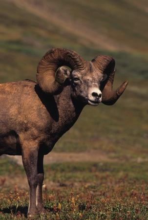 bighorn sheep: Bighorn Ram