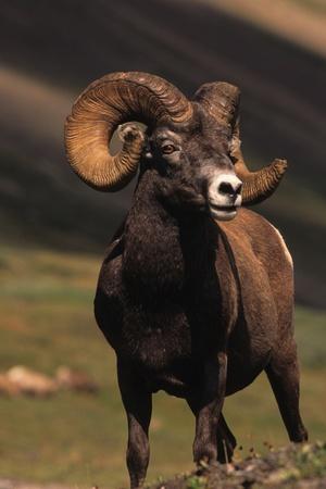 ram: Bighorn Ram