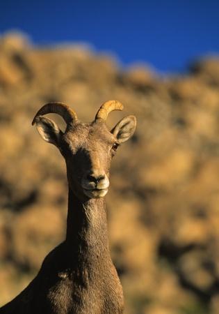 bighorn sheep: pecore bighorn Ewe