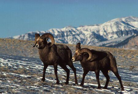 windswept: Bighorn rams on Windswept Mountain