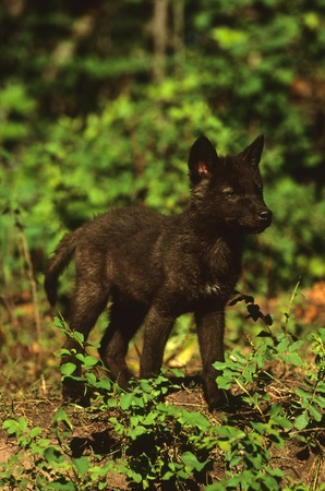 Black Wolf Pup Stock Photo - 8883626