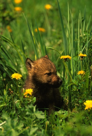 Cute Wolf Pup Stock Photo - 8883624