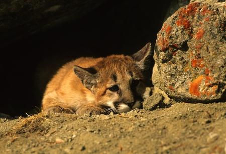 Mountain Lion Kitten photo