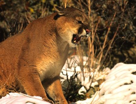 マウンテン ライオンのほえる 写真素材