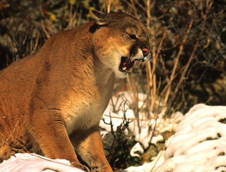 Mountain Lion Snarling photo