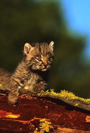 lince rojo: Bobcat gatito en registro Foto de archivo