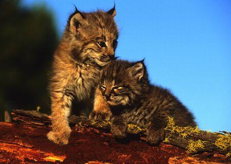 Bobcat Kittens on Log
