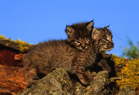 bobcat: Bobcat Kittens op Log