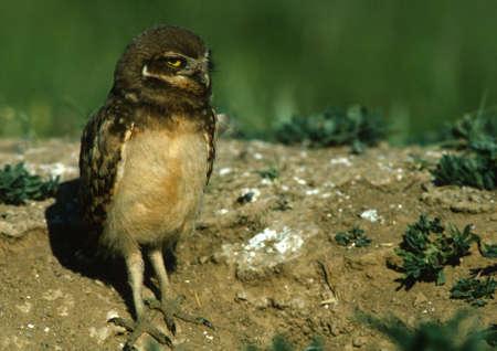 burrowing: Young Burrowing Owl