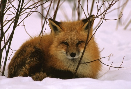 fox fur: Red Fox Bedded in Snow