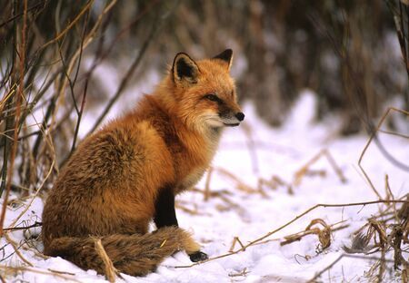 fox fur: Red Fox in Winter