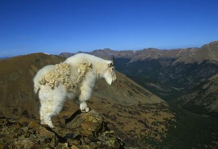 cabra montes: Cabra en paisaje esc�nico