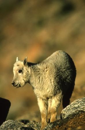 cabra montes: Kid de cabra Foto de archivo