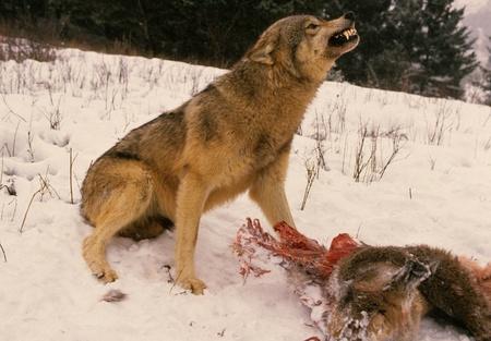 私の鹿から離れて言っているオオカミ