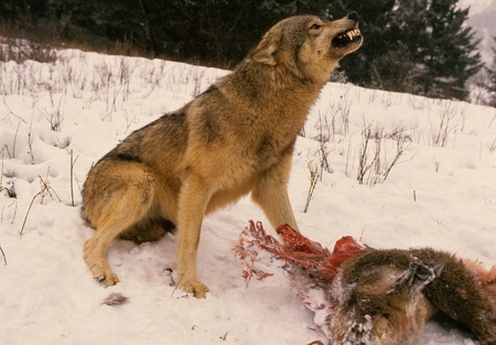 Wolf Saying Stay Away From My Deer